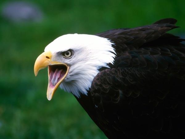 Хищные птицы птицы которые охотятся в